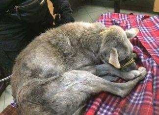 Pies odebrany właścicielom z Sosnowca – fot. OTOZ Animals Inspektorat Gliwice