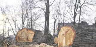 Wycinka drzew - fot. MC