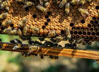 Pszczoły – fot. Pixabay