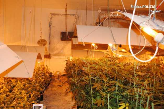 Policjanci zlikwidowali plantację marihuany- fot. KPP Będzin