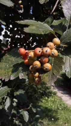 116 drzew dla Sosnowca - fot. Przemysław Bartos