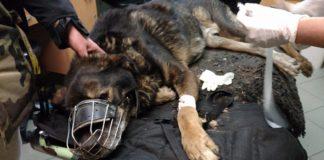 Pies odebrany właścicielom z Dąbrowy Górniczej - fot. OTOZ Animals Inspektorat Gliwice