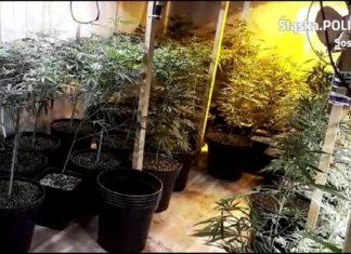 Plantacja marihuany w mieszkaniu - fot. KMP w Sosnowcu