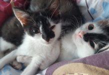Kotka Migotka - fot. SosnoŚląskie koty do adopcji
