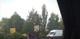 Łoś zablokował przejazd na trasie DK94 w Sosnowcu - fot. Facebook/Gdzie stoją w Sosnowcu - Paweł Matros