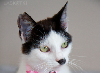 Adopcyjny Kocik Folfik - fot. Laskotki