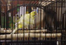 Wystawa kanarków w Sosnowcu – fot. Przemysław Bartos