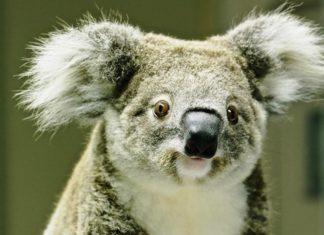 Poseł z Sosnowca Mateusz Bochenek adoptował koalę Kooloonbung Tasha - fot. Koala Hospital Port Macquarie