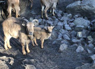 Owca z Sosnowca - fot. UM Sosnowiec