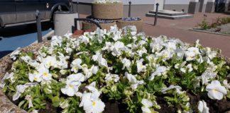 Kwiaty w Sosnowcu - fot. UM Sosnowiec