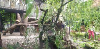 Puma Nubia - fot. Śląski Ogród Zoologiczny